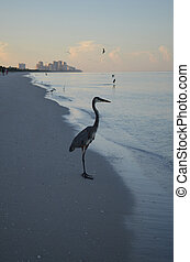 Very Tall Great Blue Heron on the Shore