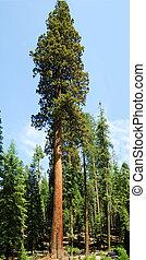 Sequoia Gigantica - very tall Sequoia Gigantica in Mariposa...