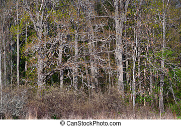 very thick forest with bare trees in spring