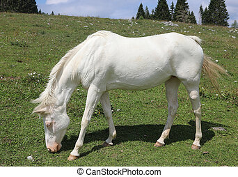 Very white horse on green meadown whitel eating fresh grass in summer in mountain