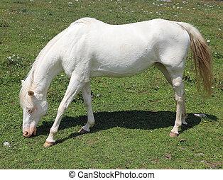 Very white horse on green meadown whitel eating fresh grass