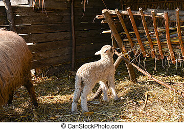 Very young lamb barely standing, trying to eat hay with the flock, standing with his back to the camera