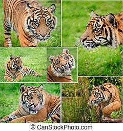 verzameling, van, beelden, van, sumatran tijger, panthera, tigris, sumatrae, in gevangenschap