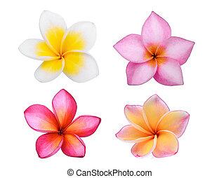 verzameling, van, frangipani, (plumeria), bloem, vrijstaand, op wit, achtergrond, tropische bloem