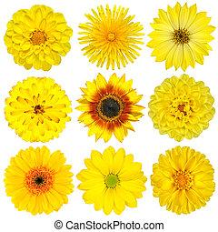 verzameling, van, gele bloemen, vrijstaand, op wit