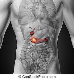 vesícula biliar, /, páncreas, -, macho