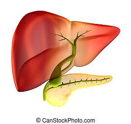 vesícula biliar, sección transversal, verdadero, anatomía humana, -, aislado, blanco