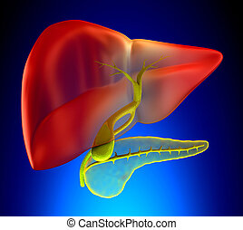 vesícula biliar, sección transversal, verdadero, anatomía humana, -, en, fondo azul