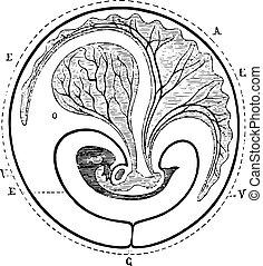 vesikel, årgång, navel-, allantoic, framsteg, decreased, ...