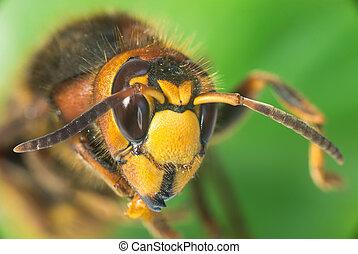 (vespa, európai, lódarázs, crabro)
