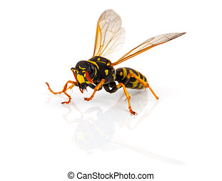 vespa, isolado, branco, fundo