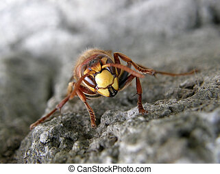(vespa, lódarázs, crabro)