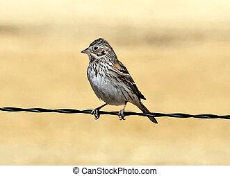 Vesper Sparrow (Poocetes gramineus) on fence wire in Willcox, AZ