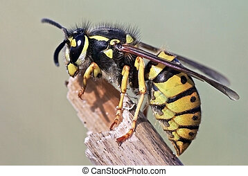 Vespula germanica detailed macro