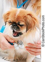 Vet and small dog. - Vet and small dog isolated over white.