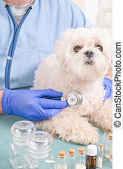 Vet checking a dog with a stethoscope