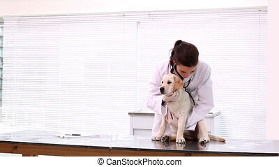 Vet checking a yellow labrador puppy in her examination room