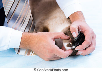 vet checks the health of a cat