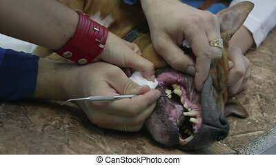 Vet cleaning teeth of dog