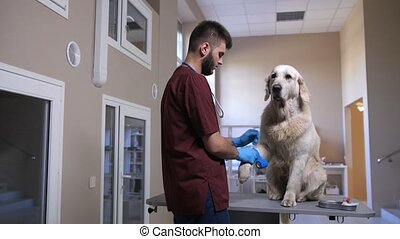 Vet doctor bandaging dog after blood sample