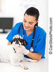 vet doctor examining pet dog eye - female professional vet...