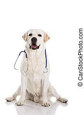 Vet dog - Beautiful labrador retriever with a stethoscope on...