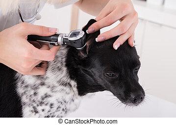 Vet Examining Dog's Ear