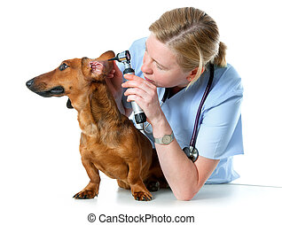 vet examining sick dog - veterinarian doctor making check-up...