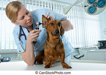 vet examining sick dog - veterinarian doctor making check-up...