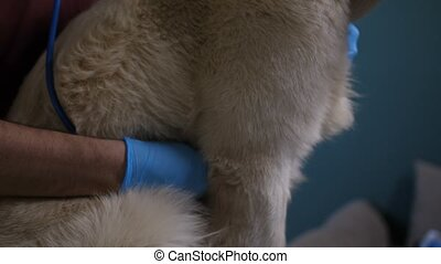 Vet hands with stethoscope checking dog's heart - Closeip...