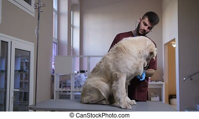 Vet listening retriever's heartbeat at clinic - Young...