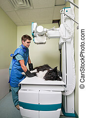 Vet taking out X-ray of a dog - Dog receiving an x-ray at a ...