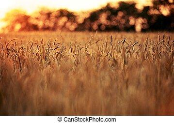 vete, fält