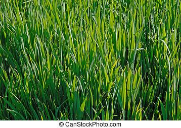 vete, planterar, växande