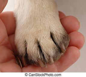 veterinär, sorgfalt, -, personen, hand holding, hundepfote