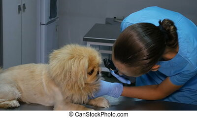 veterinarian checks the dog's vision at medical check-up