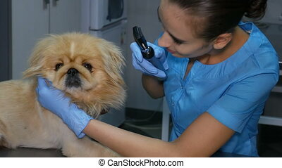veterinarian checks the dog's vision