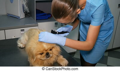 veterinarian checks the ears of the dog at medical check-up