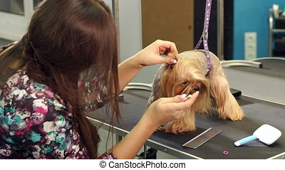 Veterinarian cleans ears dog. Close-up vet cleans the dog's ear with cotton swab