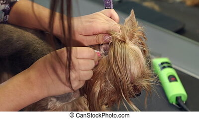 Veterinarian plucks hairs from the ear of a small dog in a veterinary clinic.