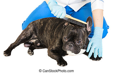 veterinarian combs the dog's fur to a French bulldog