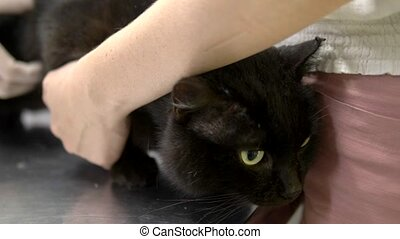 veterinarian concept. sad black cat examined by a vet before...