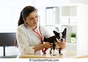 Veterinarian doctor and Chihuahua dog at vet ambulance - ...