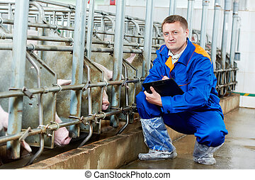 Veterinarian doctor examining pigs at a pig farm - ...