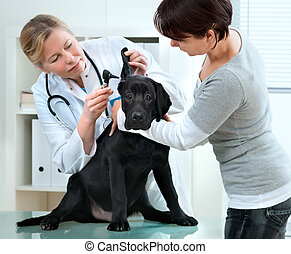 veterinarian doctor making a check-up of a puppy Labrador...