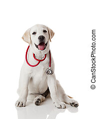 Veterinarian dog - Beautiful labrador retriever with a...