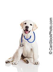 Veterinarian dog - Beautiful labrador retriever with a ...