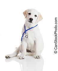 Veterinarian dog - Beautiful labrador retriever with a...