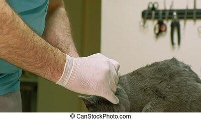 veterinarian examines a cat - A veterinarian does a gray cat...