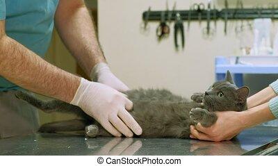 veterinarian examines a cat - a veterinarian makes a checkup...